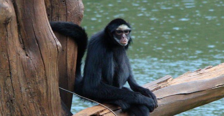 Qué son los monos araña y cuáles son sus características