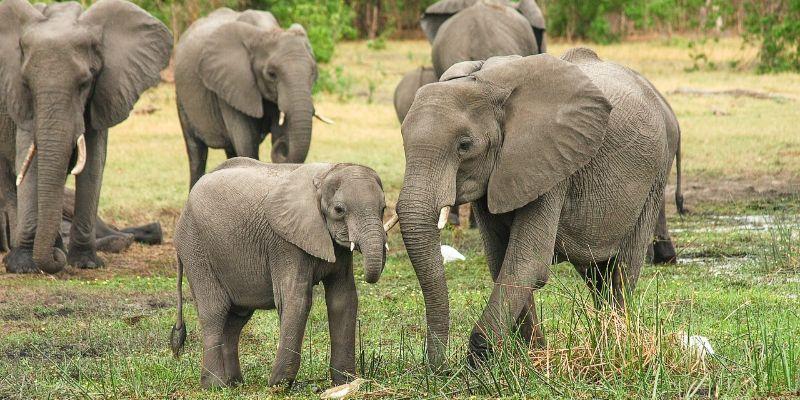 7 características del elefante africano