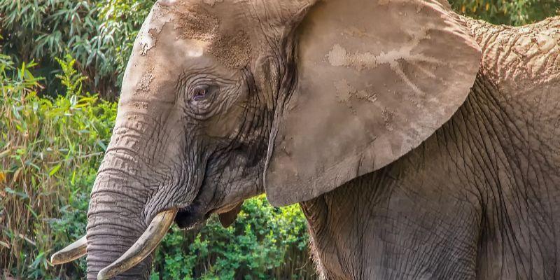 Esperanza de vida - Características del elefante africano