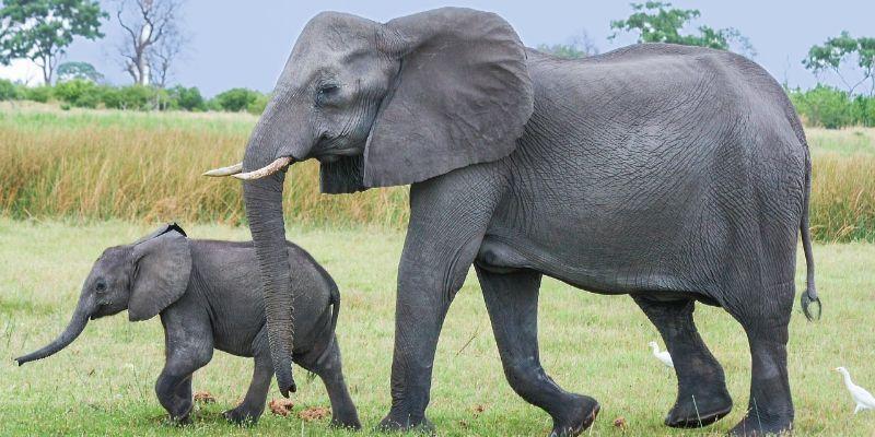 Estas son las princopales características del elefante africano