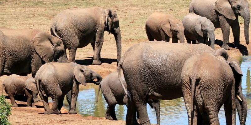 Tamaño - Características del elefante africano