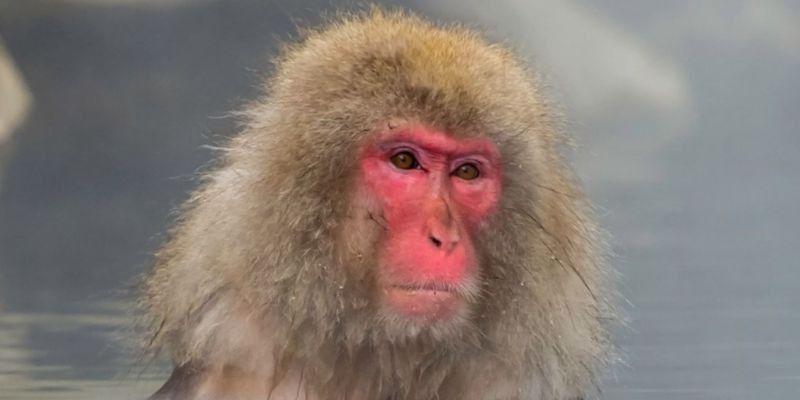5 características del macaco japonés