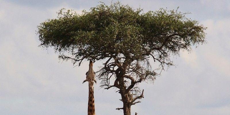 5 características que definen el comportamiento de las jirafas