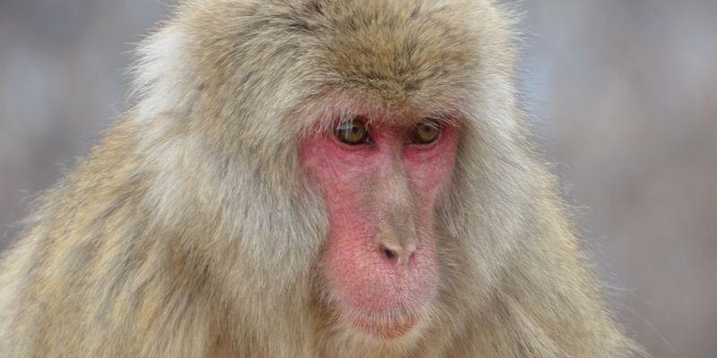 Características del macaco japonés: ¿cómo es?
