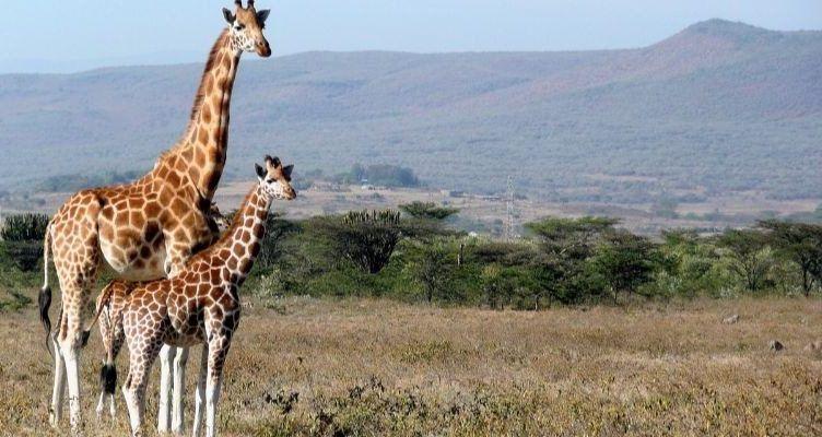 Cómo es el comportamiento de las jirafas