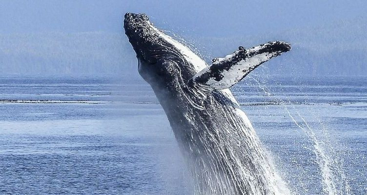 ¿Cuánto viven las ballenas?