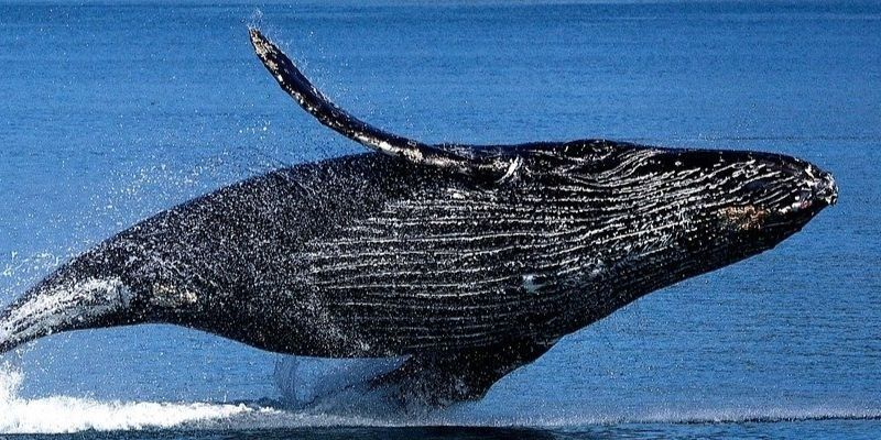 Esperanza vida ballenas