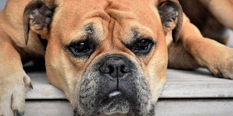 Las 5 ventajas de adoptar un perro adulto que debes conocer