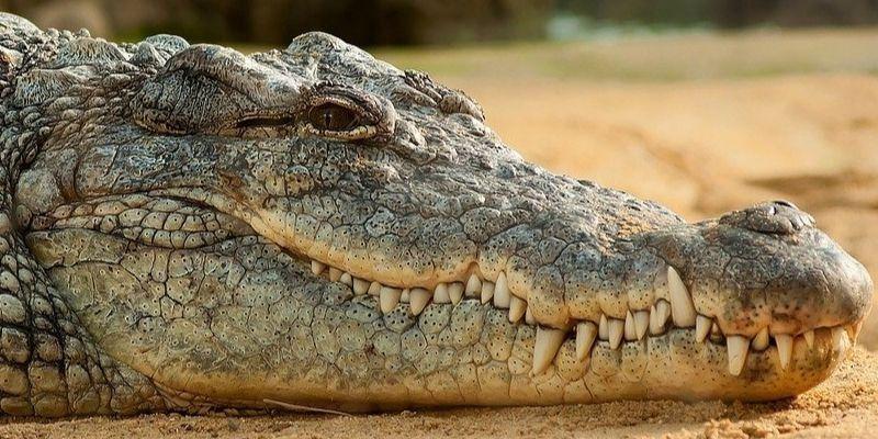 Por qué los cocodrilos son los animales más resistentes al cambio climático