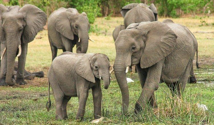Cuántas especies de elefantes existen en el mundo