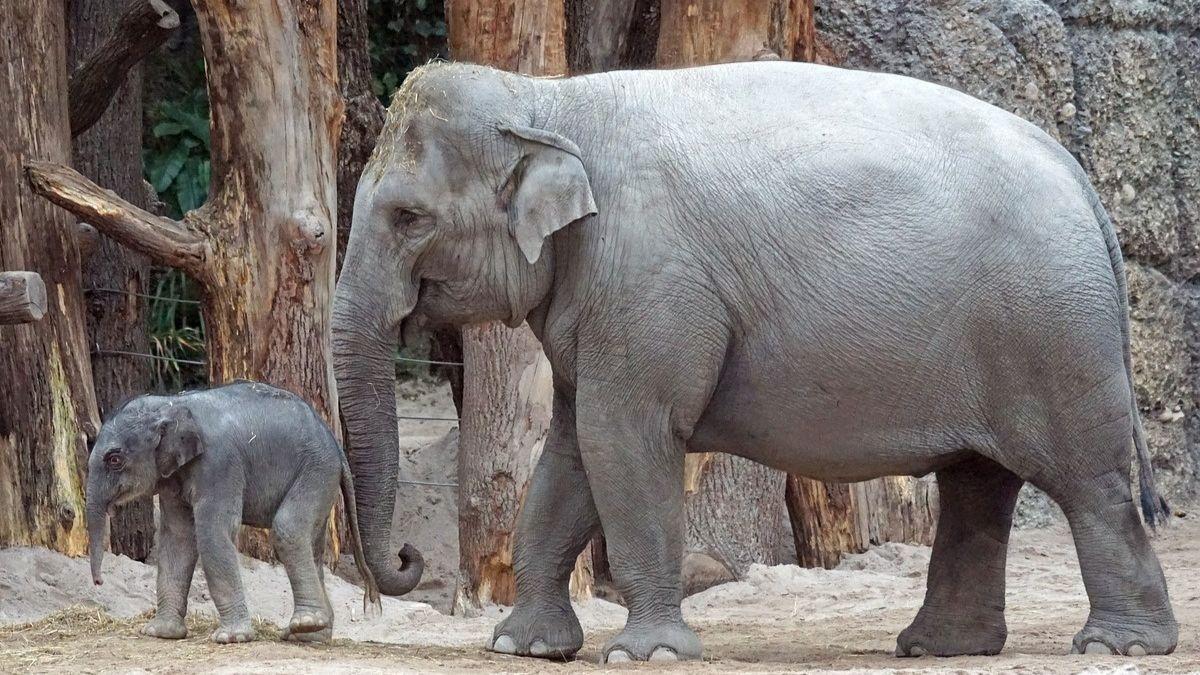 Especies de elefantes: asiático