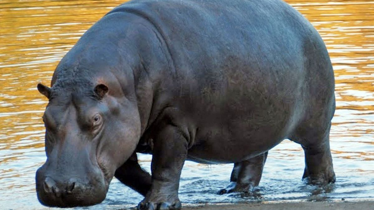 Hipopótamo común