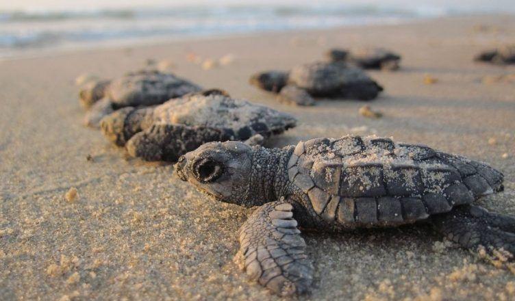 Más de 800.000 tortugas anidan en las playas vacías de la India por el coronavirus
