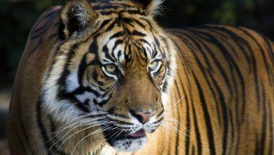 5 características del tigre de Bengala: un animal fascinante