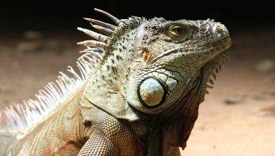 Cómo respiran los reptiles