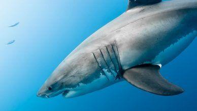Cuál es el tiburón más grande del mundo