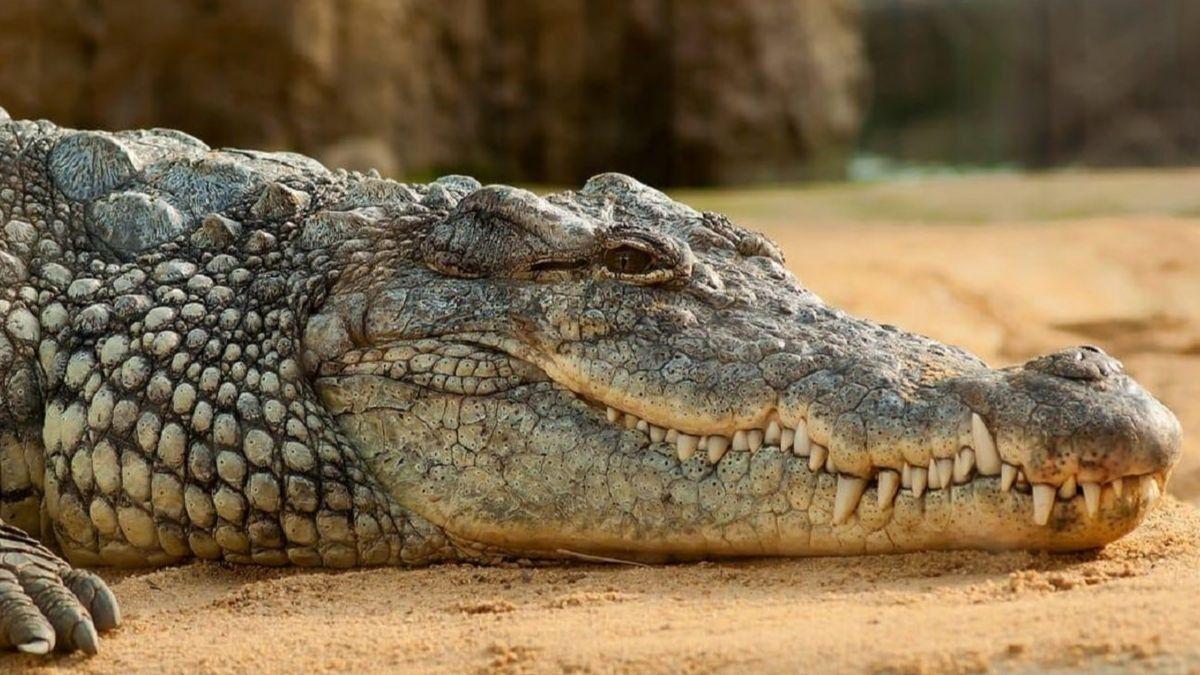Cuántos dientes tienen los cocodrilos