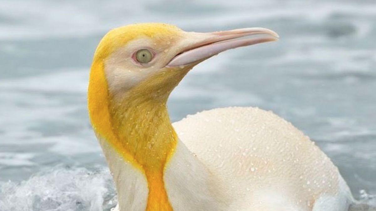 La primera imagen del pingüino amarillo que se ha hecho viral
