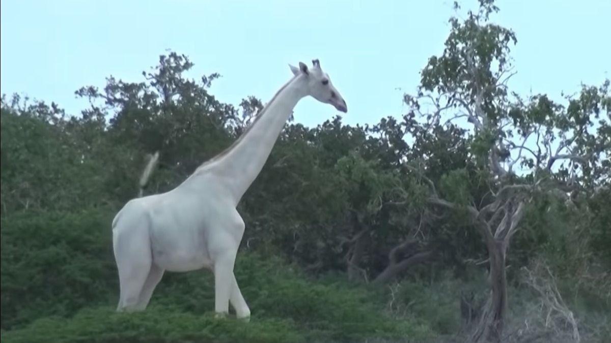 La única jirafa blanca hembra del mundo ha sido asesinada por cazadores furtivos