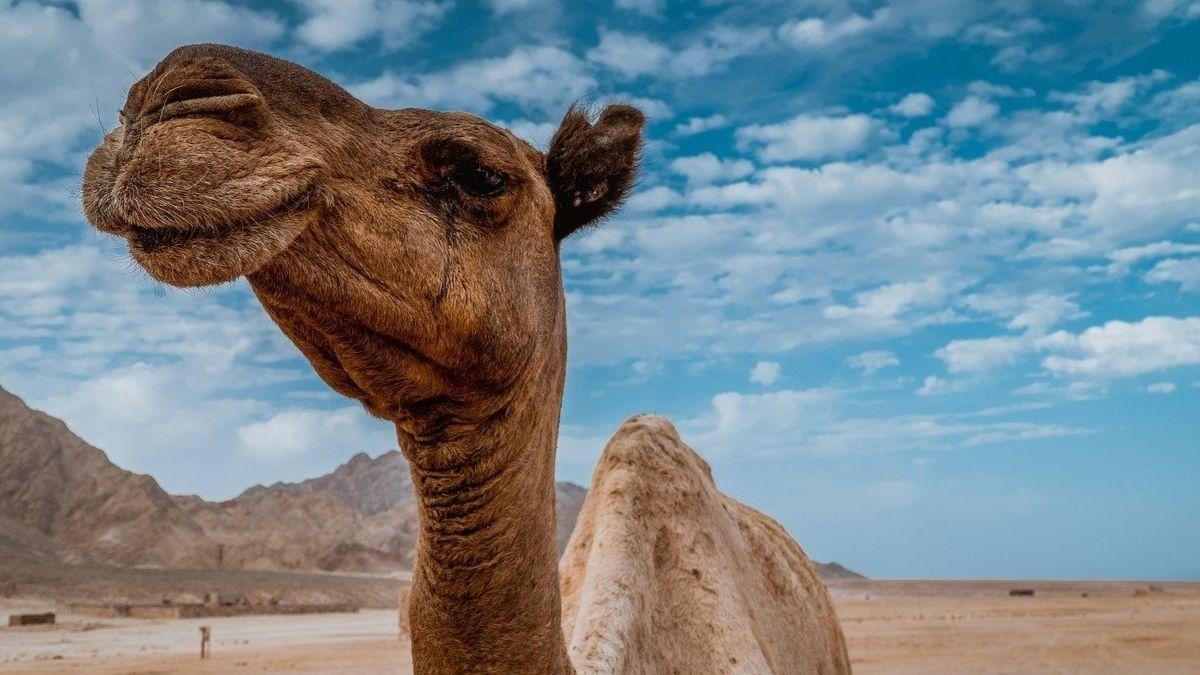 Leche de camella en Fuerteventura