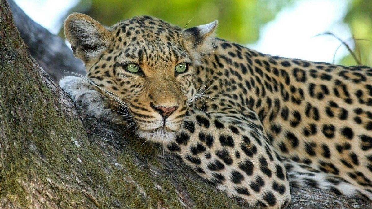 Cuáles son las diferencias entre el jaguar y el leopardo