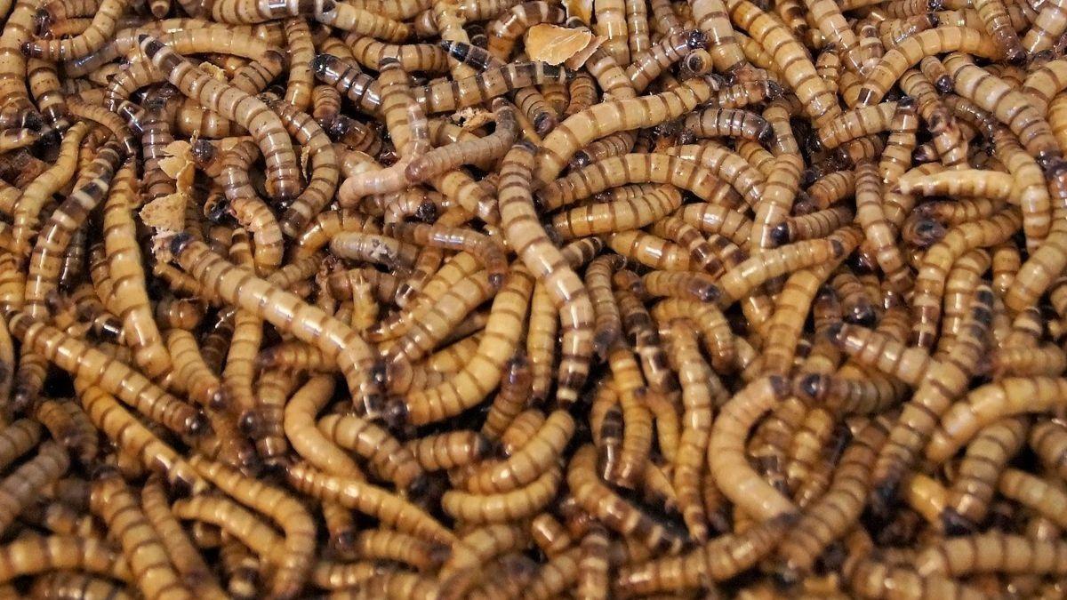 La Unión Europea aprueba el gusano de la harina como el primer insecto comestible