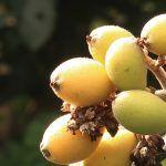 ¿Conoces los beneficios de los nísperos? Son saciantes y antioxidantes