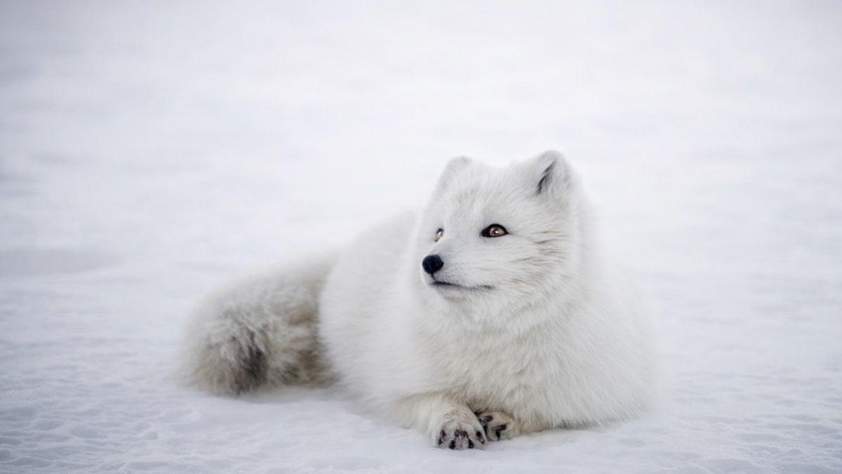 Características Zorro Ártico